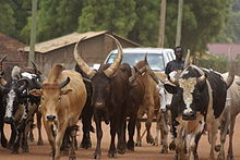 Cattle of the Dinka people, Juba, South Sudan - 20101230-06.jpg