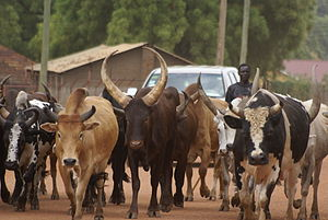 Dinka people - A Dinka man herding cattle