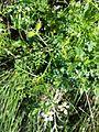 Caucalis platycarpos subsp. platycarpos sl3.jpg
