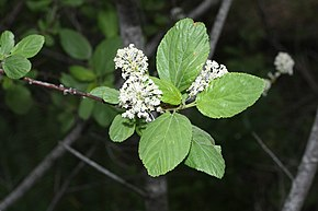 Description de l'image Ceanothus sanguineus 4841.JPG.