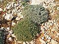 Centaurea horrida con Astragalus terracianoi.jpg