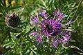 Centaurea scabiosa - img 25421.jpg