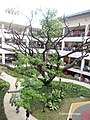 Centrio Mall Acacia Tree - panoramio.jpg