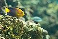 Centropyge interrupta - Japanese angelfish.jpg