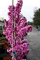 Cercis chinensis Avondale 16zz.jpg