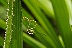 Ceriagrion coromandelianum mating 6015.jpg