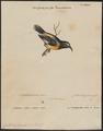 Certhiola flaveola - 1700-1880 - Print - Iconographia Zoologica - Special Collections University of Amsterdam - UBA01 IZ19000435.tif