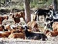 Chèvres du Rove dans la vallée de la Durance 02.jpg