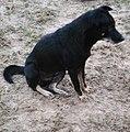 Chó đen (chó mực) ở Cát Sơn (6).jpg