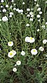 Chamaemelum nobile All. (Anthemis nobilis L.)-1F.jpg