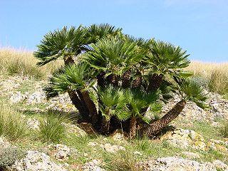 <i>Chamaerops</i> species of plant