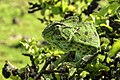 Chameleon in Salalah.jpg