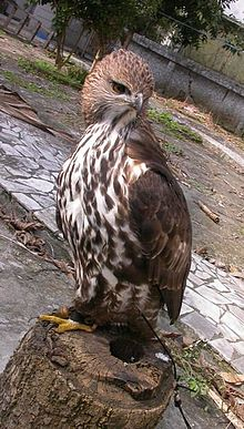 Changeable hawk-eagle2.jpg