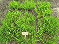 Chasmanthium latifolium - Berlin Botanical Garden - IMG 8541.JPG