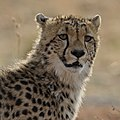 Cheetah from Pilanesberg National Park last weekend (37161616883).jpg