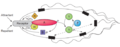 Chemotaxis Regulation within E. coli.png