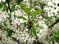 Cherry blossom (Cerasus) 01.JPG