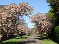 Cherry blossom in Stafford Street.jpg