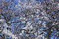 Cherry blossoms 0005 - 2012-03-15 (6995023161).jpg