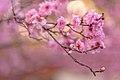 Cherry blossoms at Cherry Blossom Festival 2014, Japan; August 2014 (01).jpg