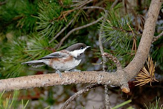 Chestnut-backed chickadee - Poecile rufescens rufescens