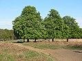 Chestnut trees in flower, Richmond Park - geograph.org.uk - 1273782.jpg