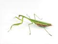 Chinese mantis (Tenodera sinensis) side.png