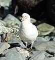 Chionis alba -Cooper Bay, South Georgia, British Overseas Territories, UK-8.jpg