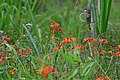 Chispas (Crocosmia crocosmiflora) - Flickr - Alejandro Bayer (1).jpg
