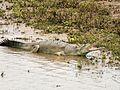 Chitwan National Park gharial.jpg