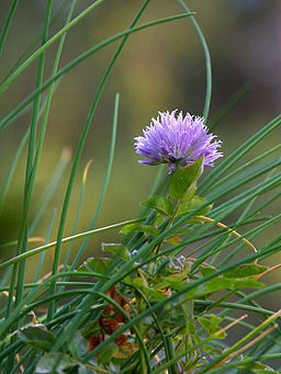 Chives.web