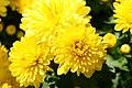 Chrysanthemum Draga 0zz.jpg