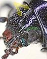 Chrysochus asclepiadeus head.jpg