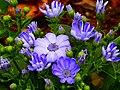 Cineraria Flower.jpg