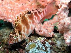 Cirrhitichthys aprinus.JPG