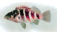 Cirrhitops fasciatus