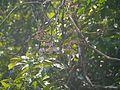 Cissus ¿ reticulatus ? (8595604582).jpg
