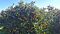 Citrus orchards near Sagunto 01.jpg