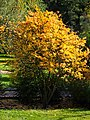 Citrus trifoliata Poncyria trójlistkowa 2014-10-12 01.jpg