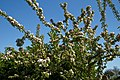 City of London Cemetery and Crematorium ~ Café apple blossom 03.jpg