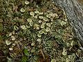 Cladonia coccifera - Flickr - pellaea.jpg