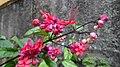 Clerodendro-vermelho - panoramio.jpg