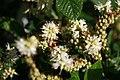 Clethra alnifolia 17zz.jpg