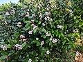 Climbing Oleander(Strophanthus gratus) 14.jpg