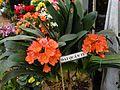 Clivia flower (hoa đại quân tử) in Dalat.JPG