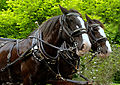 Clydesdale Horses.jpg