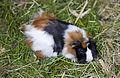 Cobaya (Cavia porcellus), Tierpark Hellabrunn, Múnich, Alemania, 2012-06-17, DD 01.JPG