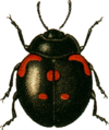 Coccinella bipunctata3 Jacobson.png