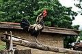 Cock crow in Abeokuta, Ogun State-Nigeria.jpg