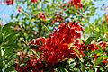 Cockspur Coral Tree (Erythrina crista-galli)2.jpg